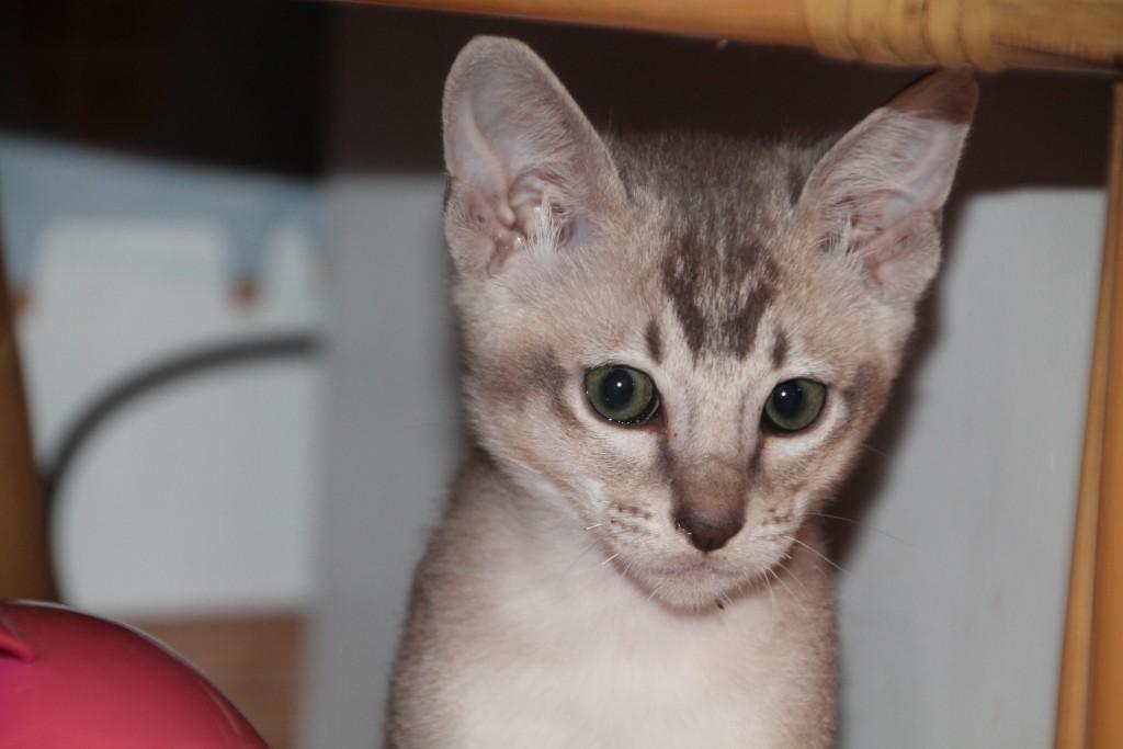 Faye (blue tabby sepia)