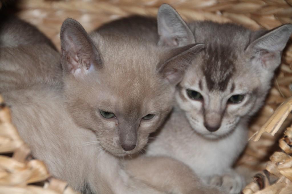 Fiona (blue mink) & Fandango (brown mink) - beide zusammen vergeben